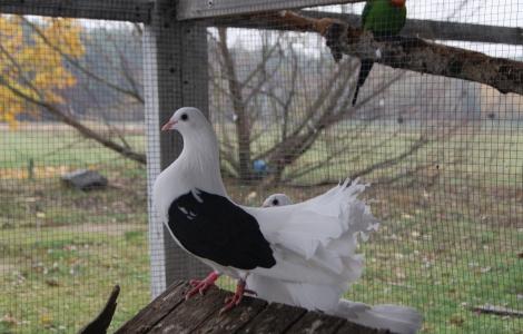 Gołębie Pawiki