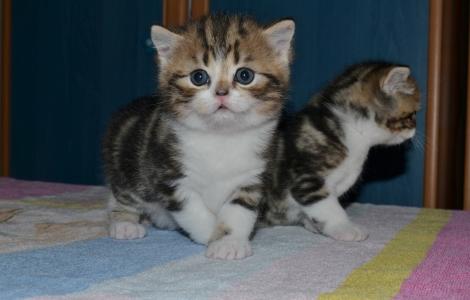 Szkockie pluszowe kocięta bardzo piękny kolor!