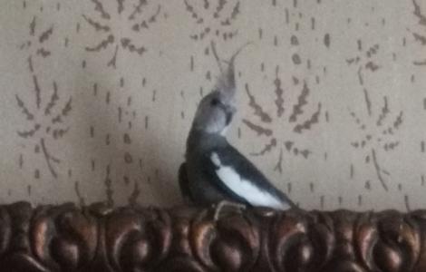 Kupię Papugę Nimfę białogłową samiczkę