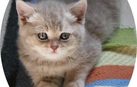 Dwie kotki brytyjskie wyjątkowe ubarwienia zapraszam do rezerwacji