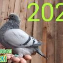 Gołębie Młode org DEKLAK , DOLCE VITA