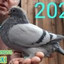 Gołębie Młode org JANSSEN